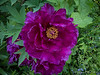 "Tree peony- we call it ""Hechinger's Purple"" for where we bought it"