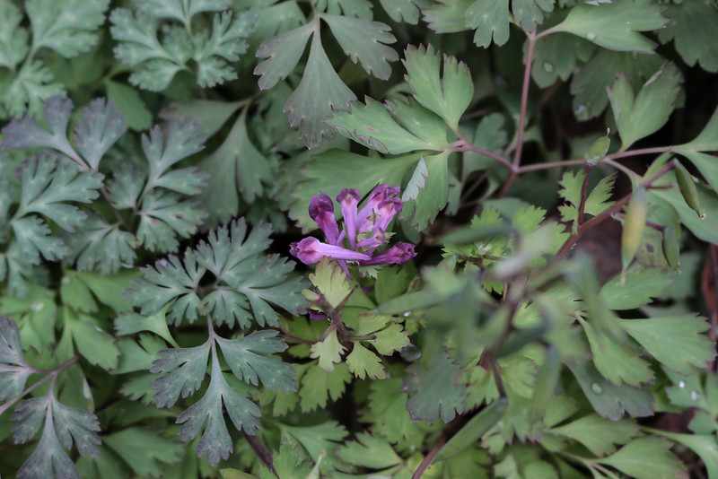 Corydalis- incisa, rampant weed, but a pretty weed.