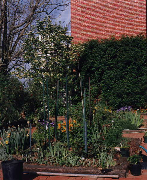 Courtyard; iris, Staphylea, green wall is rose 'Gardenia' on trellis