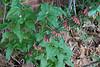 Polygonatum kingianum,