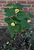 Yellow abutilon-- not hardy here-- and variegated Trachelospermum