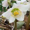 Helleborus niger hybrid- Dec 5 through March