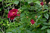 Rose, probably 'Dr. Huey' understock climber