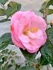 Camellia (Lady Clare?) Dan's studio door 4/01/19
