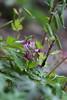 Biennial Corydalis, a pretty weed