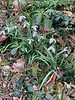 Snowdrops along N alley? 3/19