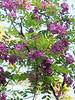 Robinia 'Purple Robe'