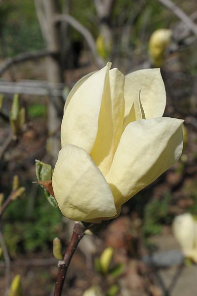Yellow magnolia