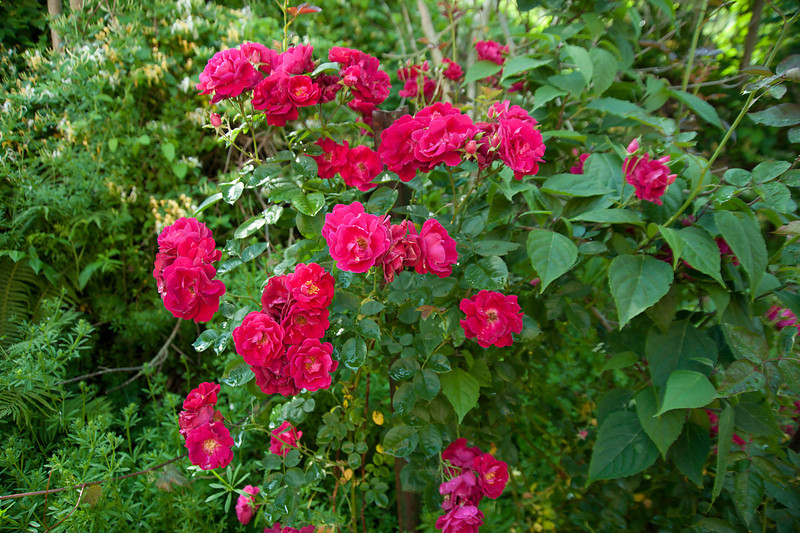 Dr. Huey understock for (defunct) grafted rose
