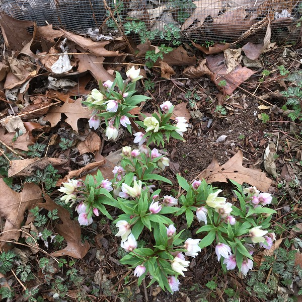 Helleborus thibetanus early Mar 2019