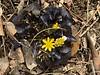 Ranunculus f. Brazen Hussy 3/14/19