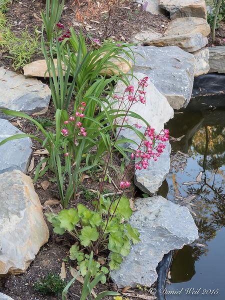 Heuchera and daylilies by north pool