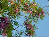 Robinia (locust) 'Purple Robe'