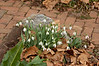 Large snowdrops, courtyard, Jan-Feb