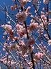 Prunus mume (Nicholas?) 4/1/19