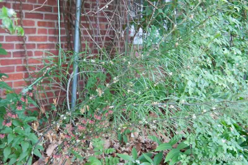 Polygonatum kingianum, showing more growth. Eventually 8-9' high.