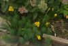 Sternbergia, autumn sedum, euphorbia