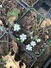 Potted hepatica in bloom, g'house 4/1/19