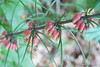 "Polygonatum kingianum closeup, flrs perhaps 3/4"" long"