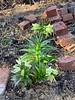 Frittilaria raddeana 4/1/19 N alley