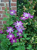 Clematis, SE corner of first addition, growing on Sarcococca.