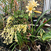 Golden Cyrtanthus and golden Clivia, 2/10/20