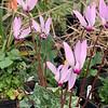 Species Cyclamen persicum, 2/10/20