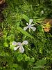 Iris cristata among #$%^ bittercress, 4/23/19