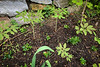 Woods peony seedlings ex A.F. NW of garage 4/26/19 plntd 2017??