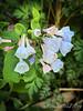 Light blue VA bluebells, NE corner g'house, 4/21/19