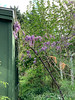 Wisteria starting to munch on greenhouse 4/20/19