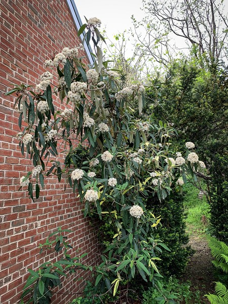 Veriegated viburnum 4/26/19