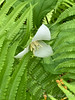 Trillium grandiflorum S of Dan's studio being eaten by ostrich fern 4/21/19
