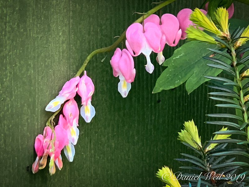 Dicentra closeup against W wall of g'house 4/21/19