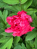Tree peony S of library 4/26/19