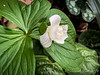 Double trillium, var. leaf upper R is a Chinese asarum 4/24/19