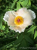 Tree peony, S of chicken house, 4/21/19