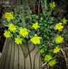 Euphorbia @ top of library steps 4/26/19