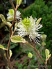 Fothergilla N of W addition blow up 4/21/19
