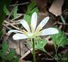 Ranunculus ficaria white form 4/21/19