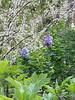 Oakleaf hydrangea, blue lilac, white redbud 4/21/19