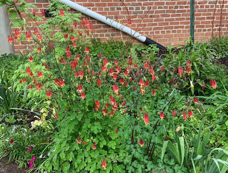 Aquilegia canadensis S of library, ipheion and annl dianthus 4/26/19