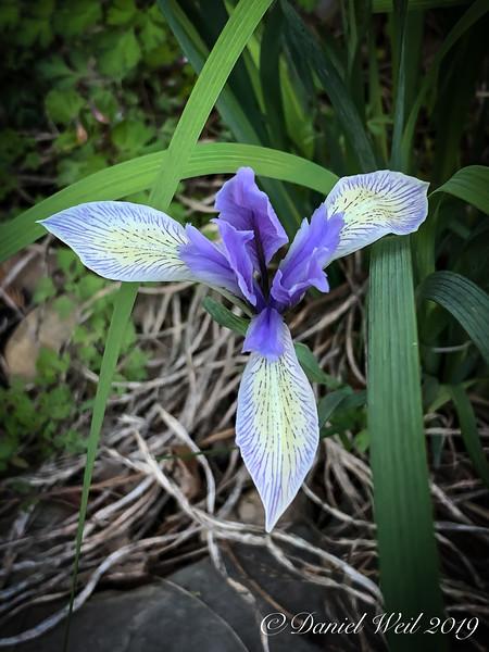 Iris lactea ex Alice Nicolson. S of g'house 4/21/19