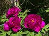 Hechinger's Purple tree peony 4/24/19