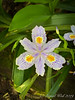 Iris japonica Eco Easter 4/24/19 first day of blooming