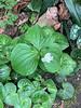 Double trillium, Asarum pulchellum and (maximum?), Rhodea 4/24/19