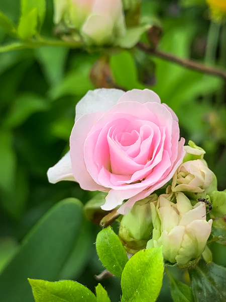 Rose flrd azalea S of library 4/26/19