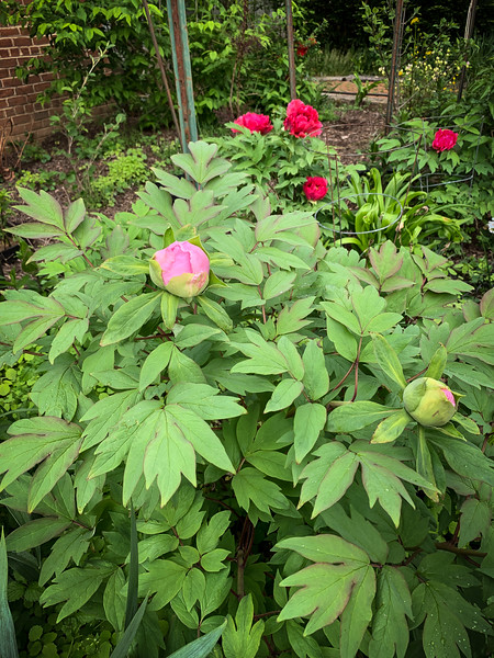 Tree peonies S of library 4/26/19