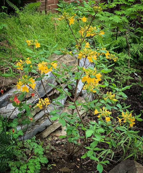 Yellow azalea, columbine, woods peony seedlings to R 4/26/19