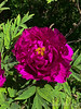 """Hechingers Purple"" tree peony 4/2/19"